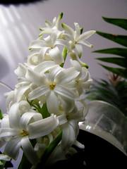 Hyacinth - (Hyacinthus orientalis) (}{enry) Tags: hyacinth hyacinthus orientalis