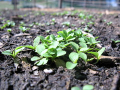 Baby Lettuce (OakleyOriginals) Tags: green oklahoma sunshine weather garden salad spring cool backyard rich grow vegetable fresh delicious soil lettuce crop organic vitamins nutritious