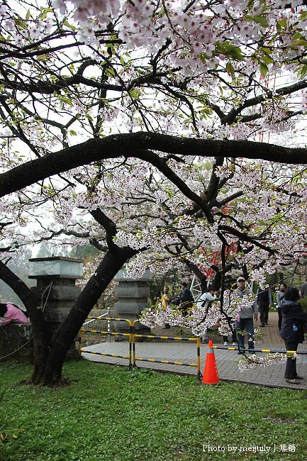 阿里山櫻花季陰天版22