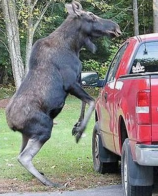 animals_attacking_cars_18