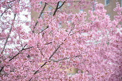 'Okame' Flowering Cherry (University of Maryland Arboretum and Botanical Gar) Tags: flowers trees plants usa plant flower tree campus spring university branch blossom branches blossoms maryland twig deciduous twigs botanicalgarden umd publicgarden umcp collegepark universityofmaryland gardenplant landscapeplant arboretumandbotanicalgarden