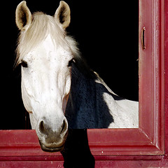Posing (vat_i_can) Tags: horse white nature stable impressedbeauty platinumheartaward doublyniceshot tripleniceshot
