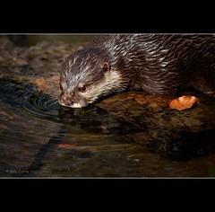 Thirsty Work (Billy Currie) Tags: brown cute wet fur mammal scotland leaf fishing furry drink wildlife og cuddly otter swimmer hunter refreshing thirsty gulp pelt coastuk canonautumn welcomeuk