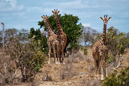 """Tsavo Est (56 di 265) • <a style=""""font-size:0.8em;"""" href=""""http://www.flickr.com/photos/121308622@N02/13991574891/"""" target=""""_blank"""">View on Flickr</a>"""