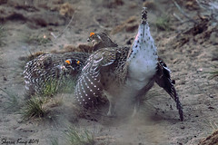 2 Sharp-Tails down (All Eyes Photography) Tags: birds sharptail grouse