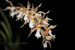 Odontoglossum blandum 6179 (A. Romanko) Tags: odontoglossum blandum