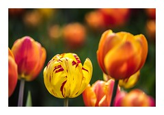 Individual Style (red stilletto) Tags: tesselaartulipfestival tulip tulips orange yellow famousflickrfive