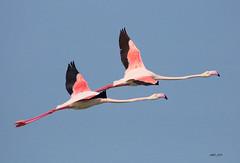 INFLIGHT FLAMINGOS! (Amro Afifi) Tags: flamingo fly inflight birds wildlife