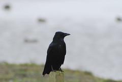DSC_0471 (PaulBenthamEsq) Tags: bird birdwatching martin mere carrion crow
