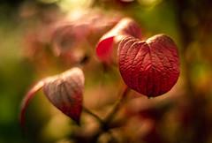 Welcome October (hploeckl) Tags: pentacon automn fall red nikon d750 vintage october switzerland botanicalgarden bokeh light sunlight sunny colors