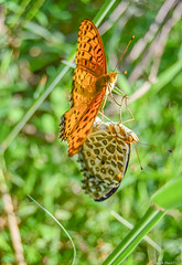 / Argyreus hyperbius (March Hare1145) Tags:  butterfly macro