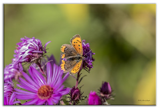 Small Copper butterfly with flowers and bokeh