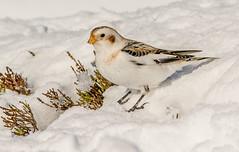 JWL5806  Snow Bunting.. (jefflack Wildlife&Nature) Tags: snowbunting birds buntings moorland heathland mountain moors cairngorms avian wildlife wildbirds countryside nature ngc npc