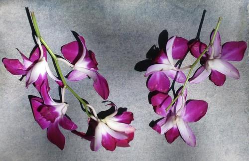 Cyanotype Printing Orchids, Bangkok