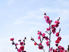 Plum blossoms in the sky (tanakawho) Tags: pink sky plant flower spring blossom plum twig bloom tanakawho