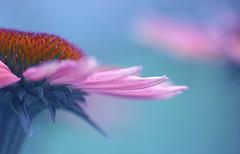 so close yet so far (Lamson Nouwenn ( away...)) Tags: pink flower macro closeup canon garden coneflowers bokeh pastel beautifulbokeh anawesomeshot