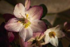 Take Care (MarcoDeNaro) Tags: flowers flower macro colors up closeup niger nikon hug close purple hellebore fiori fiore elleboro helleborus abbraccio blackhellebore marcodenaro
