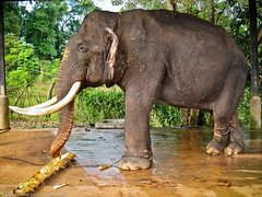 Слон хочет писать