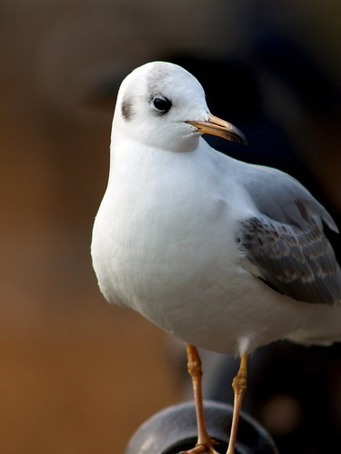 Black-headed Gull - winter plumage