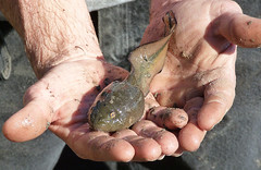 Giant Tadpole - River Swamp Frog, Rana heckscheri (Explored) (snoopydoobiedog~) Tags: lake nature water river giant florida wildlife large amphibian unusual tadpole bullfrog ranaheckscheri panasonicdmcfz35 dailynaturetnc11 riversandlakestnc11 riverswampfrog