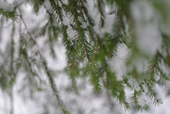 Snowy branches (kryshen) Tags: winter snow green nature forest russia branches karelia spruce природа лес зима снег flickrstock карелия ветви