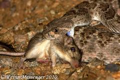 Crotalus atrox (Kevin Messenger) Tags: arizona slr digital canon eos rebel xt kevin reptile snake wildlife pit 7d messenger dslr viper rattlesnake rattle herpetology crotalus pitviper xti 40d 60d kevinmessenger