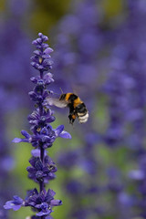 Bumble Bee in Lavender (Catching Magic) Tags: nature lavender bee bumble