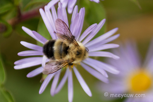 New England Asters   09.jpg