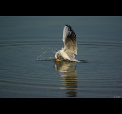 Feeding...... (Zopidis Lefteris) Tags: sea seagulls water bread feeding seagull hellas greece macedonia thessaloniki allrightsreserved         photographerzopidislefteris    allphotosarecopyrightedbyzopidislefteris  copyright