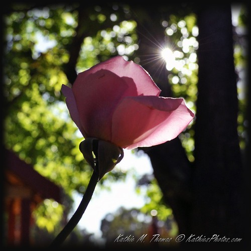 38-365 Pink Rose at sunrise