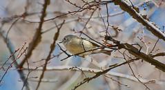 nature birds photography nikon wildlife crests rubycrownedkinglet reguluscalendula kinglet