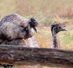Love is in the Air (Peggy Collins) Tags: canada britishcolumbia farm pacificnorthwest mating emu mates sechelt farmanimals sunshinecoast valentinesday exoticanimals happyvalentinesday birdsmating peggycollins