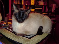 Cat on my desk ... (RenateEurope) Tags: cats katzen cato onmydesk katzi katerchen