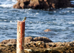 "Lebanon - Byblos - Kingfisher on post • <a style=""font-size:0.8em;"" href=""http://www.flickr.com/photos/30765416@N06/5442692575/"" target=""_blank"">View on Flickr</a>"