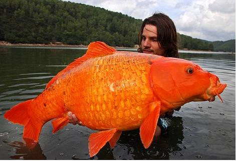 Giant-Goldfish