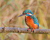 Retaliation (Andrew Haynes Wildlife Images) Tags: bird nature wildlife kingfisher coventry warwickshire brandonmarsh canon7d ajh2008