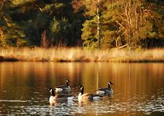 EarlyMorningLight (Saparevo) Tags: light holland reflection nature water netherlands morninglight nikon son goose ganzen waterreflections geeze nikond60 specanimal sonseheide saparevo