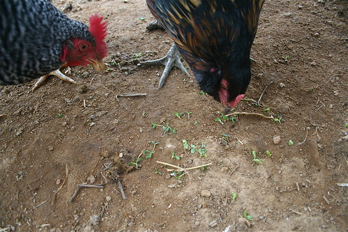 Chickens eating sprouts