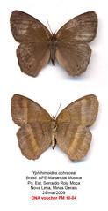 Yphthimoides ochracea