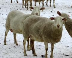 Dairy ewes