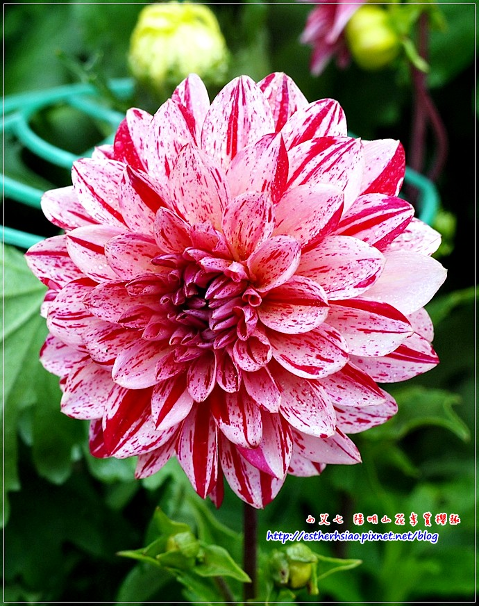 24 大理花