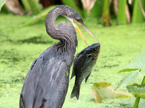 Anhinga with trophy 5-20110220