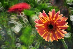 Gerbera Daisy 太陽菊 (MelindaChan ^..^) Tags: show light plant flower mirror shine bokeh gerbera daisy melinda macau 澳門 太陽菊 chanmelmel melindachan