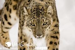 Snow Leopard (Stan Tekiela's Nature Smart Wildlife Images) Tags: mammal mamalia vertebrates naturesmartwildlifewordsandimages snowleopard stantekiela stockimages unitedstatesofamerica usa