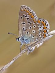 Argus bleu (Polyommatus icarus) Common Blue (Sinkha63) Tags: france macro nature die lepidoptera explore papillon prairie commonblue polyommatusicarus rhonealpes lycaenidae lpidoptre polyommatinae explored argusbleu azurdelabugrane annesorbes gettyimagesfranceq1