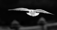 Ghost (Andrew Haynes Wildlife Images) Tags: nature wildlife gull flight experiment coventry warwickshire combeabbey ajh2008