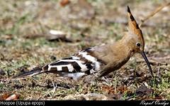 The Hoopoe (Upupa epops) (vaidyarupal) Tags: india birds aves upupaepops hoopoe avian gujarat ahmedabad kheda upupidae vaidyarupal sigma150500mm canon1000d