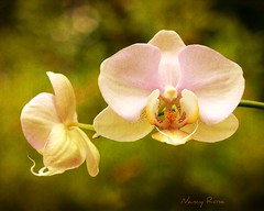 such a pretty little couple  ;-) (Nancy Rose) Tags: pink two plant orchid flower outdoors bokeh duo phalaenopsis potted paircouple
