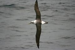 White-capped Albatross (lukasmusher) Tags: steadi thalassarche thalassarchecautasteadi
