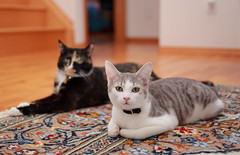 Now you have our undivided  attention. (kcezary) Tags: cats canada cat canon chat dof alberta felinos canonef35mmf2 blurr canoneflens primelens cc100 canonprimelens canon5dmkii unamourdechat mylensdb